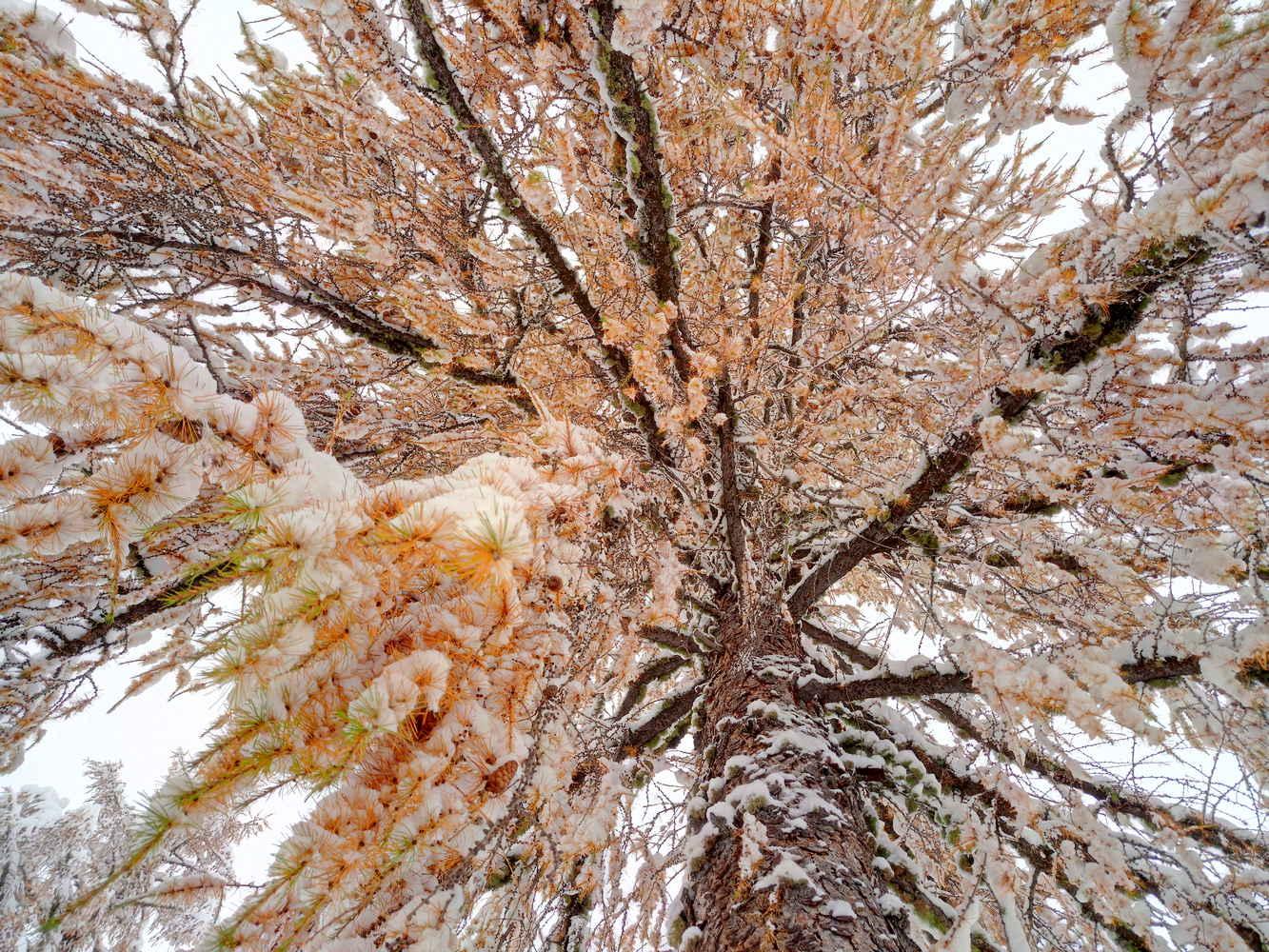larice-neve